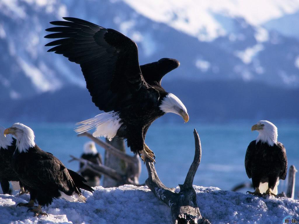 Ovaltes: American Bald Eagle Kings Of Eagle Birds