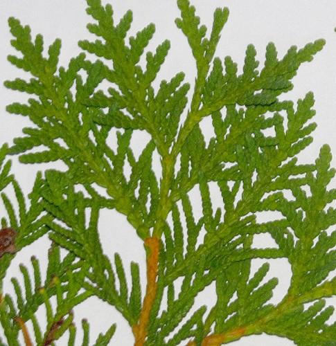 Thuja leaves