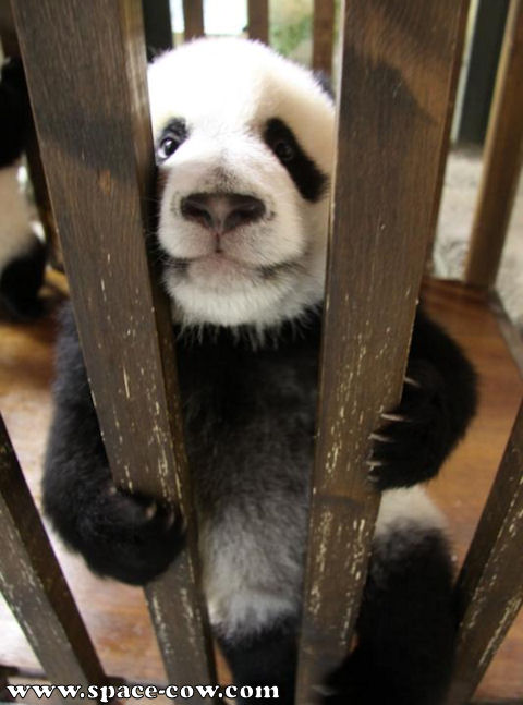 Funny Baby Panda With Captions Photo