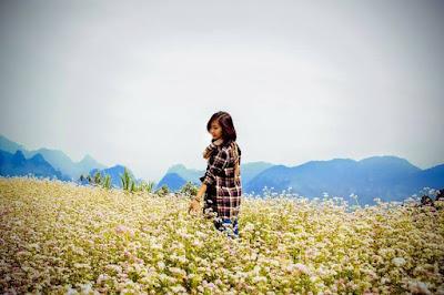 hoa tam giác mạch Hà Giang khoe sắc tuyệt đẹp