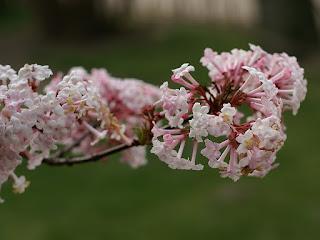 Viorne odorante - Viburnum farreri - Viburnum fragrans - Viorne de Farrer