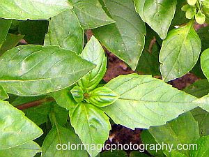 Sweet Basil - green leaves