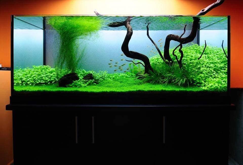 Cỏ tóc trong một hồ thủy sinh hoàn chỉnh