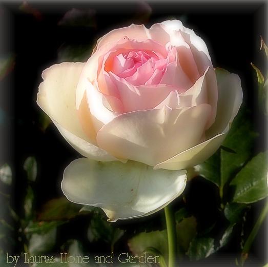 lauras home and garden eine rose ist mehr als nur eine rose. Black Bedroom Furniture Sets. Home Design Ideas