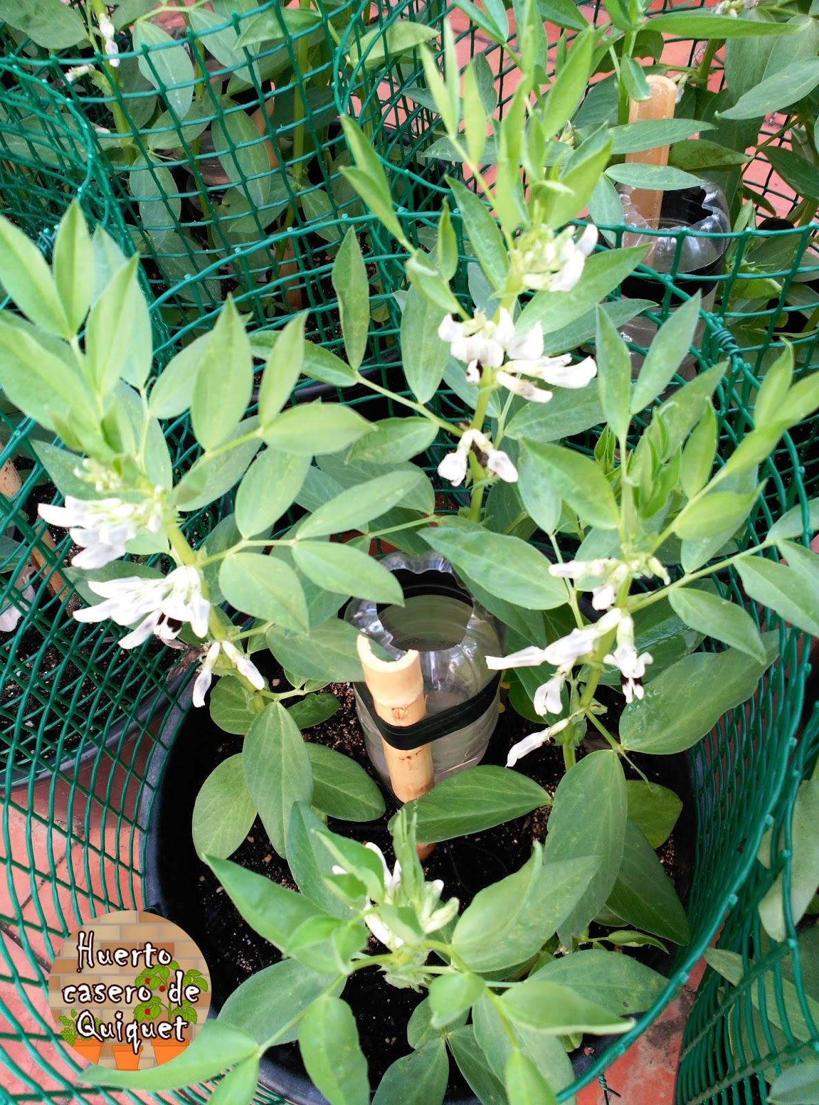 Huerto casero de quiquet polinizar manualmente flores de - Como se preparan las habas ...