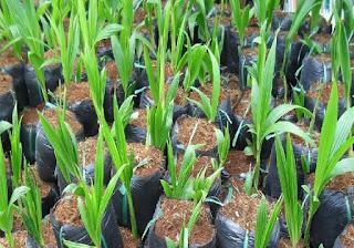 Mua giống dừa dứa ở đâu, viện cây giống trung ương đơn vị đầu tiên cung cấp giống dừa dứa