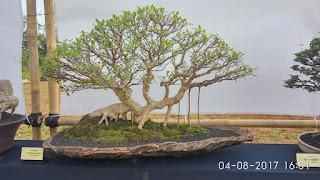 inspirasi bonsai beringin kimeng (Ficus Microcarpa)