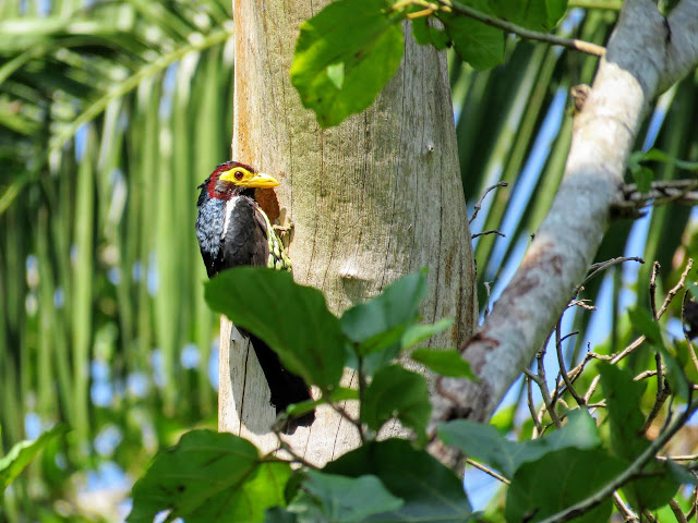 Yellow-billed barbet bird in Bigodi Wetlands in Western Uganda