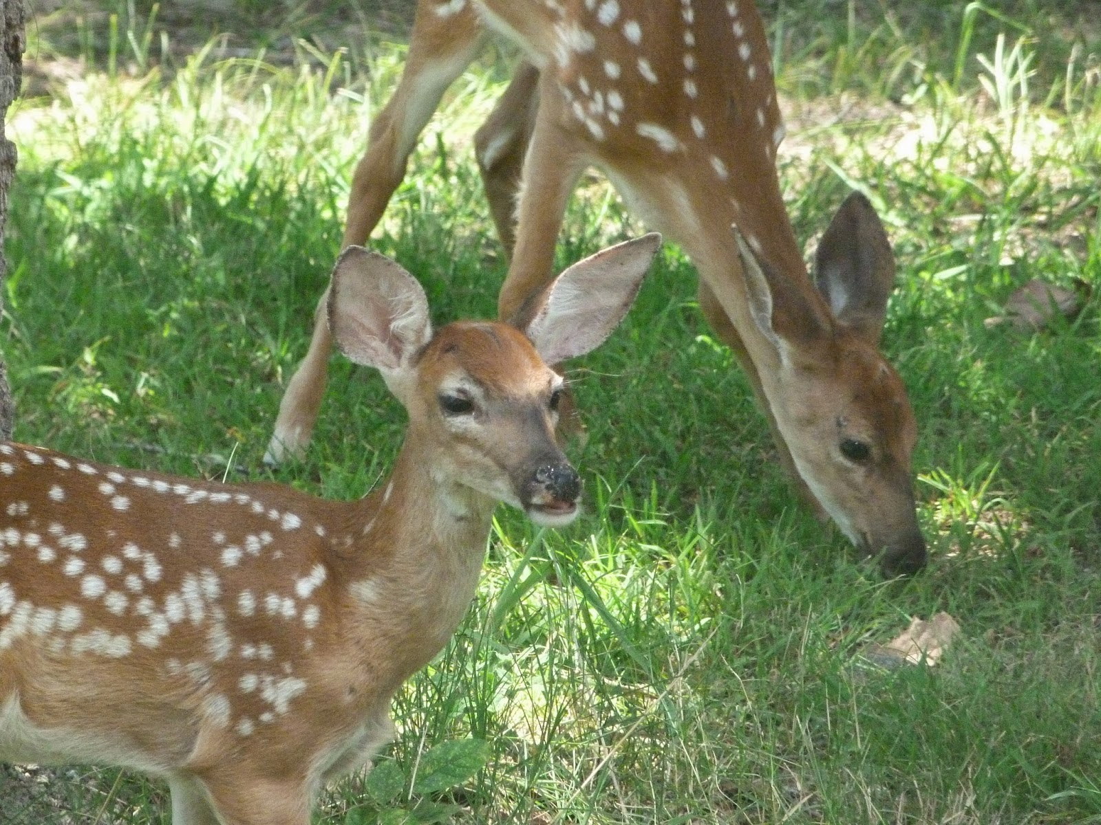 CHMusings: Fawns 1