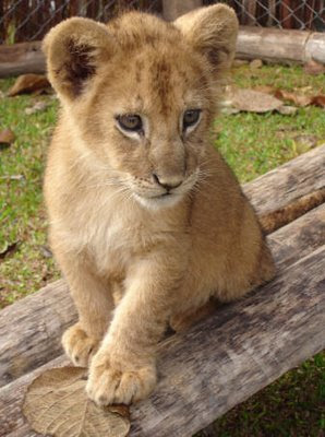 Cute Lion Cubs Hd Wallpapers Fantastic Baby Lion Pictures