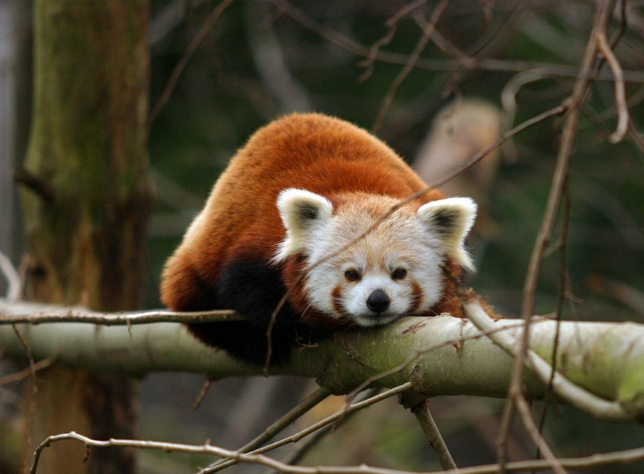 cute baby red pandas - photo #8