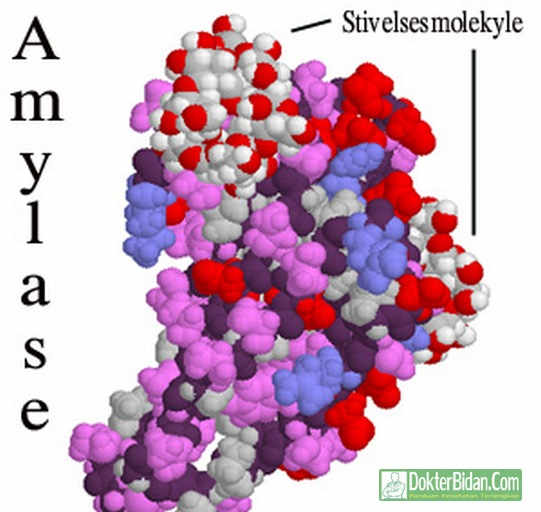 Amilase Enzim - Info Obat Peringatan Dosis Manfaat Khasiat dan Efek Sampingnya Bagi Kesehatan Pria Wanita