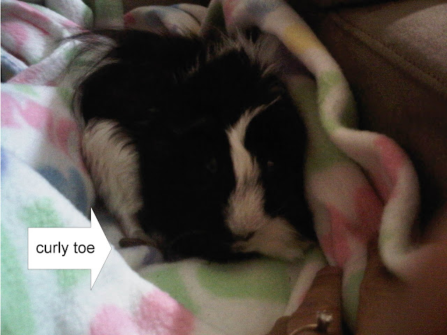 Miss Piggy the #guineaPig has toe nails so long they curled
