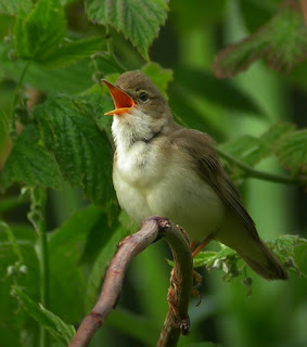 8 Audio Vareasi Suara Burung Marsh Warbler