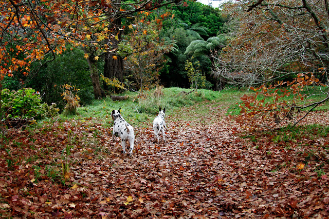 Dalmatian dogs running on a leaf covered forest trail