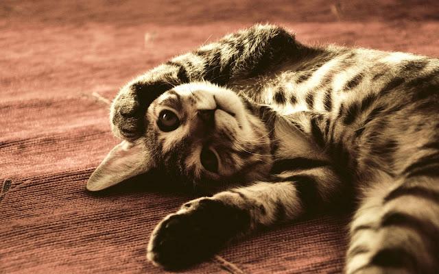 Kat aan het rusten