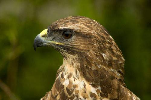 Birds of India - Image of Eurasian buzzard - Buteo buteo