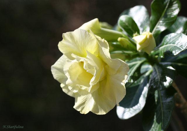 Adenium obesum cv. Double Cashmere