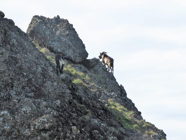 goats mountain climbing green island taiwan