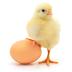 Quem veio primeiro: o ovo ou a galinha?