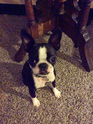 Small Boston terrier sitting nicely