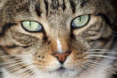 3800e9ad6 Gatos são criaturas gloriosas – que não podem, de modo algum ser  subestimadas. Seus olhos são profundezas inexpugnáveis dos mistérios felinos