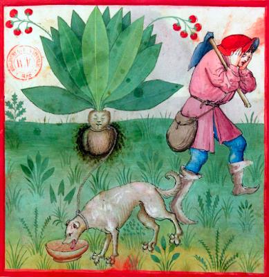 Mandragora, Tacuinum sanitatis, Rhineland 15th century