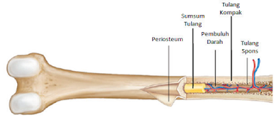 struktur tulang pipa