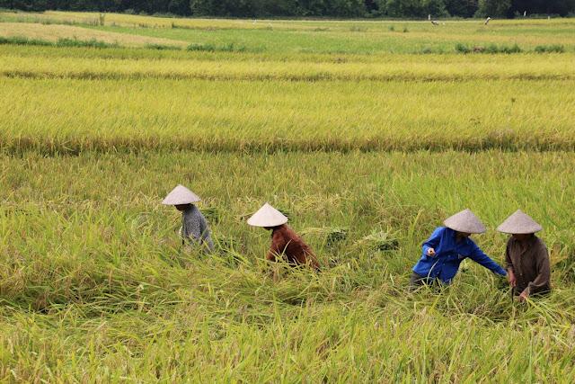 Reisernte in Vietnam