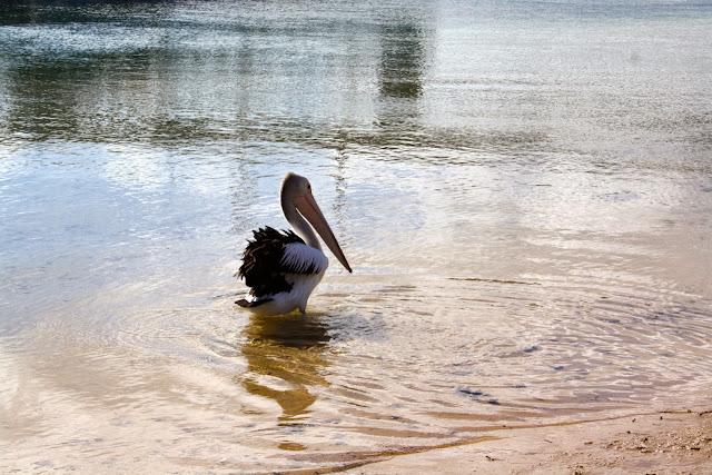 Pelicans San Remo