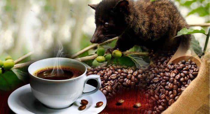 ff0e08762118 Kopi Luwak  Είναι ο πιο ακριβός καφές στον κόσμο και το μυστικό του κρύβεται  στα κόπρανα μιας γάτας!