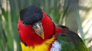 Burung nuri kepala hitam