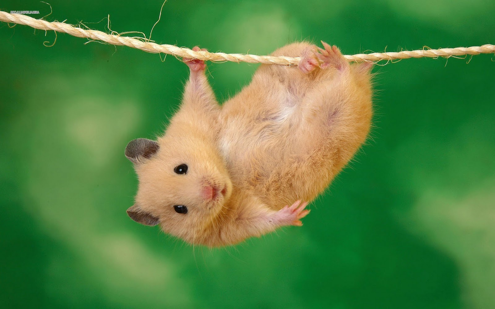 Hd Pictures Of Cute Animals: Hamsters Achtergronden