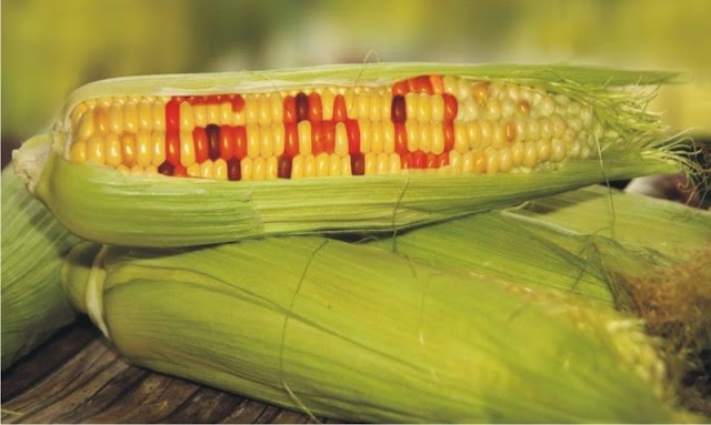 #TrueNews :Illegal GMO corn discovered in Monsanto owned area in Canada