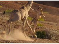 Singa Ini Dapatkan Pengalaman Mengerikan Saat Berburu Jerapah