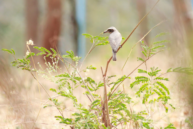 Common Woodshrike(13–18 cm) - Davangere