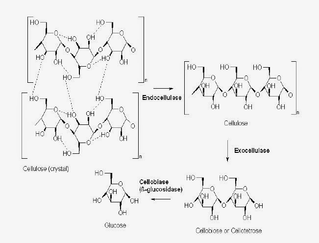 Mekanisme Pemecahan selulosa menjadi glukosa