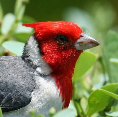 Burung Kardinal Jambul Merah