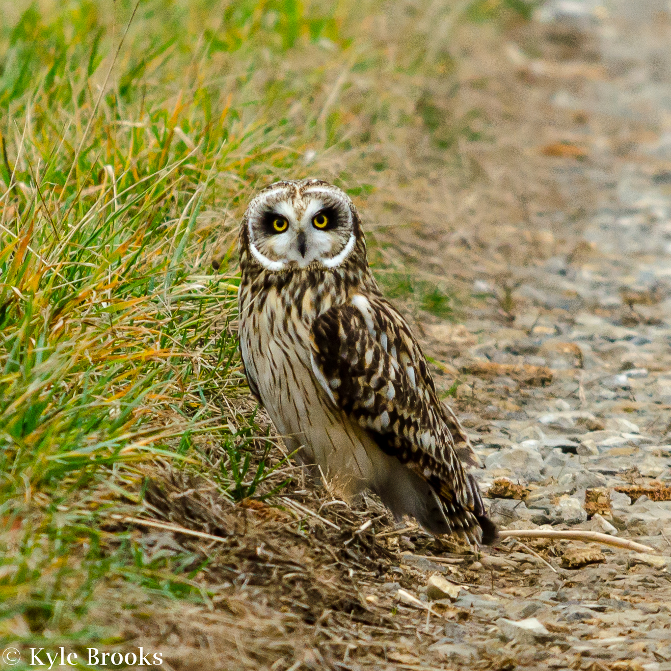Short-Eared Owl Ohio
