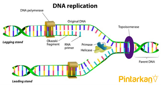 Pengertian Sintesis Protein dan Proses Sintesis Protein