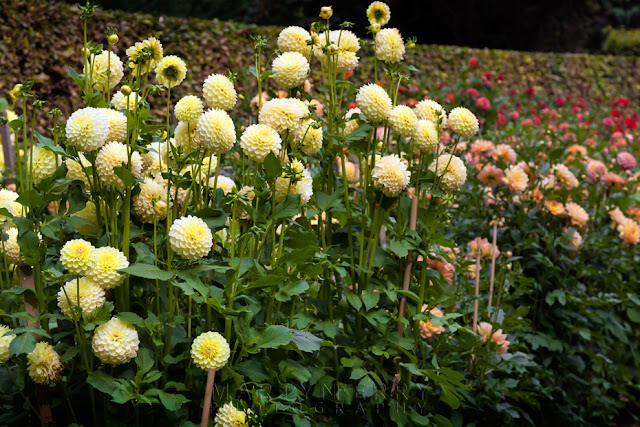 Collection of dahlias in yellow among the collection in Anglesey Abbey by Martyn Ferry Photography