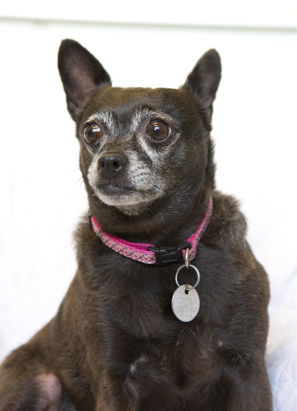chubby chihuahua shelter dogs of portland quot missy quot the perfect stoic 9797