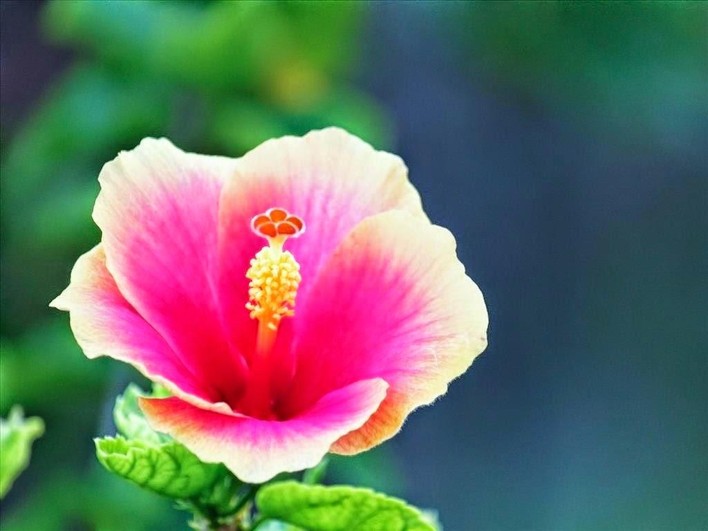 Dâm Bụt hay râm bụt là cái lọng che Phật. Hôm nay, các bạn hãy cùng với Blog hoa đẹp tìm hiểu về ý nghĩa của hoa dâm bụt nhé.
