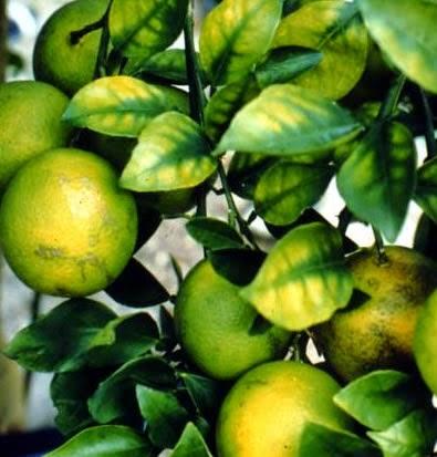 Magnesium Deficiency on orange tree