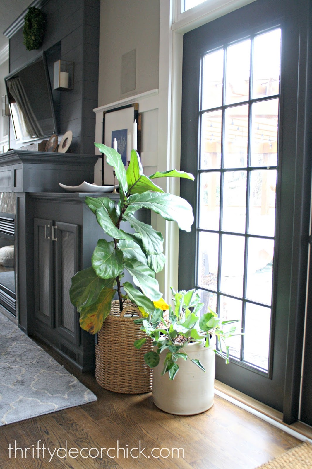 How To Not Kill Your Fiddle Leaf Plant From Thrifty Decor