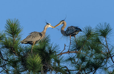 Great blue heron passing twigs for nest building