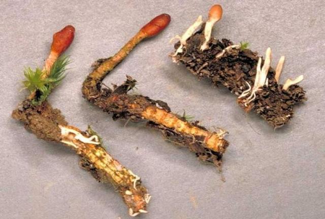 Cordyceps Sinensis – Ακόμη ένα θαύμα της Φύσης