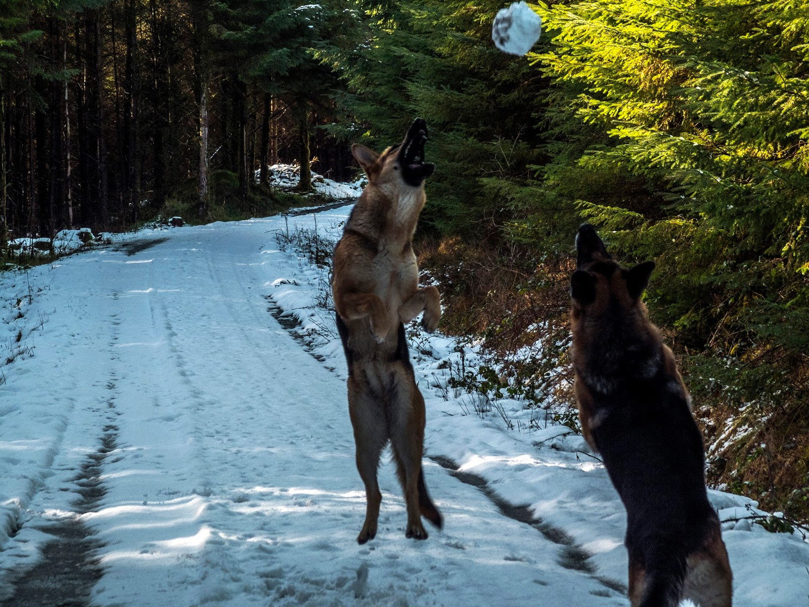 German Shepherds jumping for a snowball.