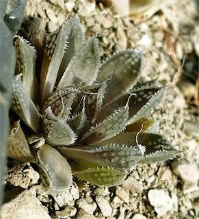 Haworthia agnis – GM 669 Klipdrift East N/E Vanrhynsdorp R290520