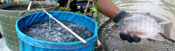 contoh media kolam ikan nila terpal bulat dan drum